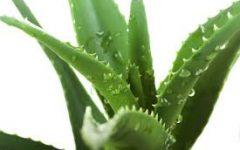 Benefícios da Babosa Para o Cabelo (Aloe Vera)