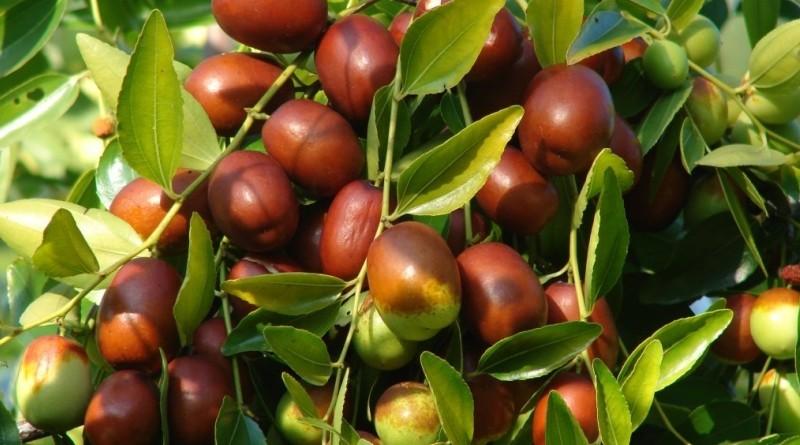 Fruta Jujuba