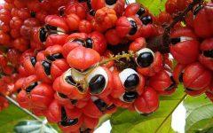 Os 12 Benefícios do Guaraná Para Saúde!