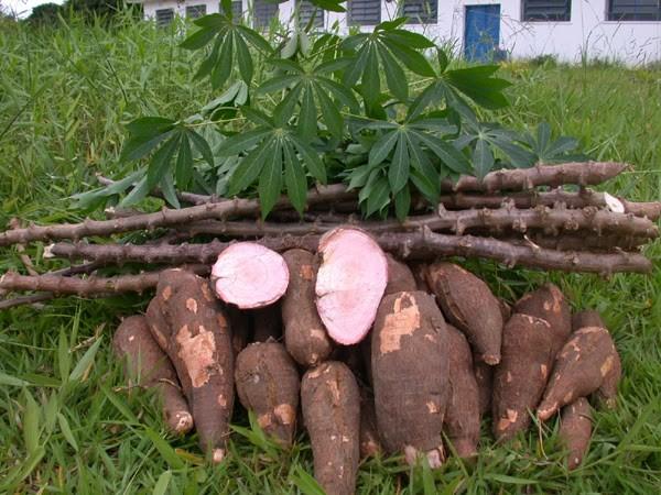 quais os benefícios da raiz de mandioca?