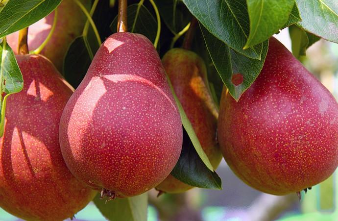 pera vermelha e uma das frutas vermelhas